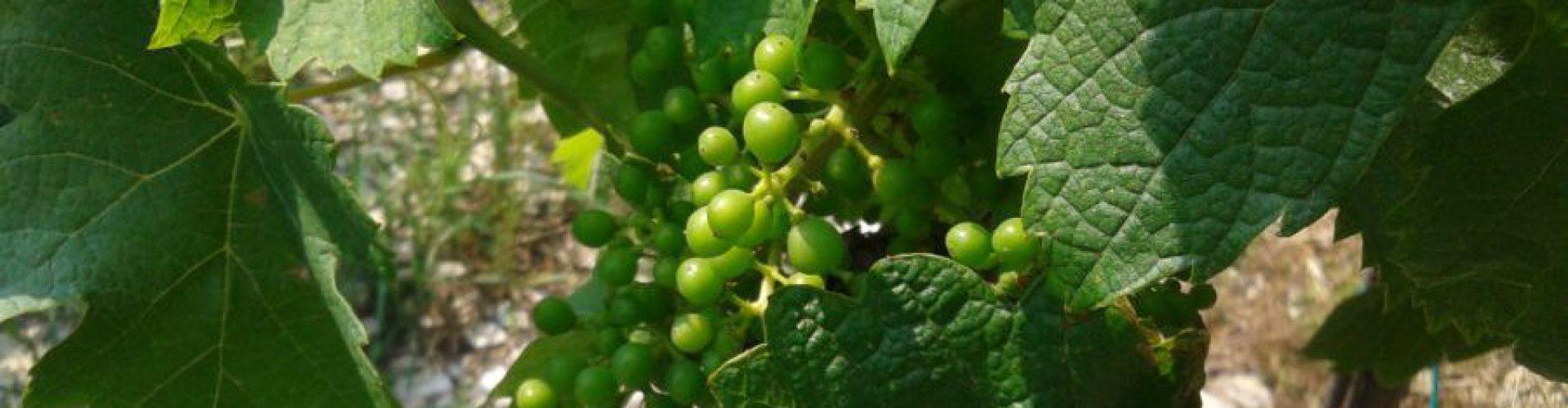 Veneto bio, un successo a cominciare dal vino: +231% in dieci anni!