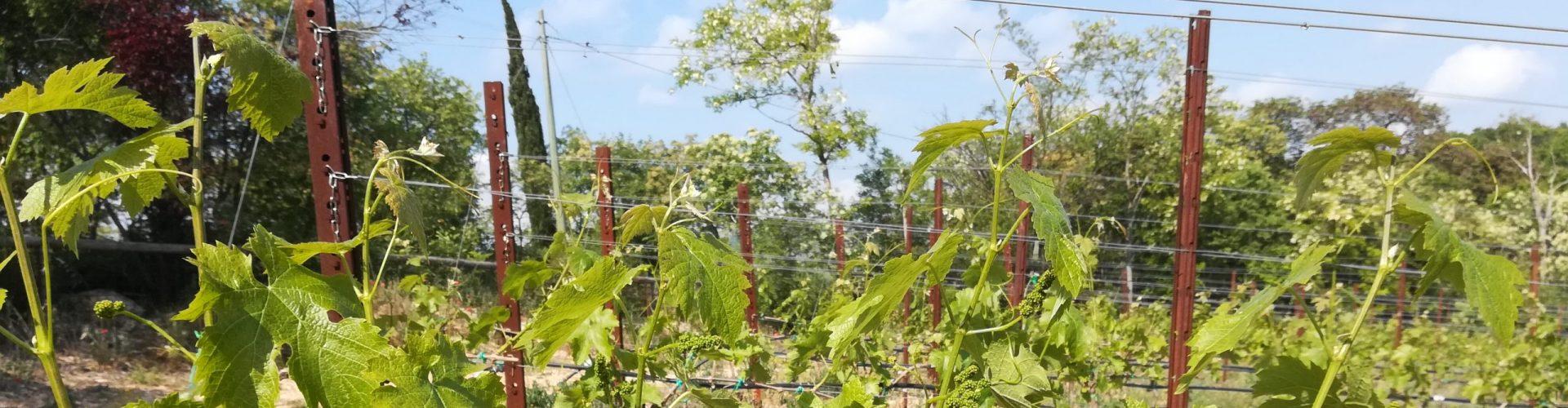 Video tecnico in campo a cura del Biodistretto Colli Euganei: la pulizia del verde in vigneto